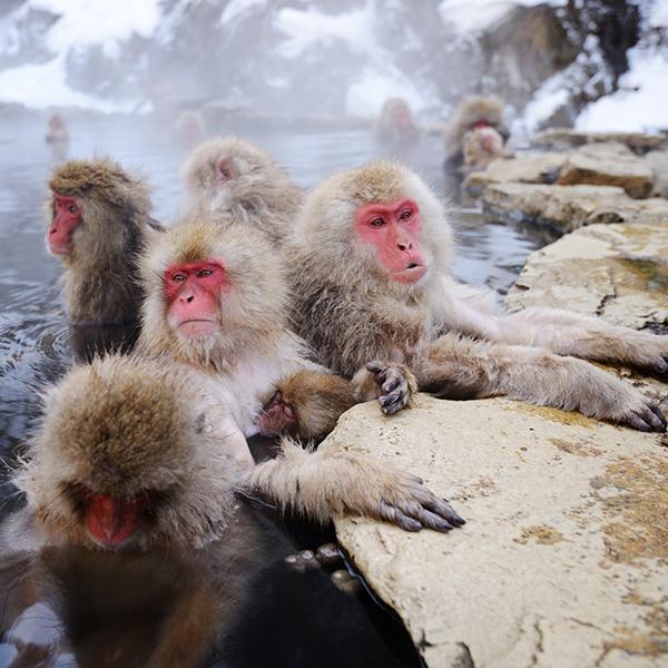 hakuba snow monkey